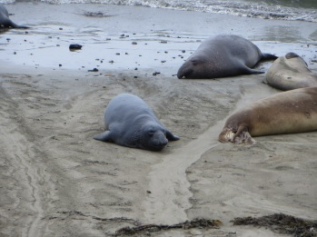 First stop along Hwy 1 was to visit the elephant seals