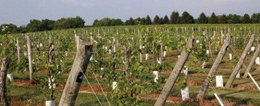 Creekbend vineyard vines in renewal.