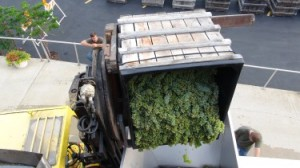 Traminette being delivered to winery in 2014.